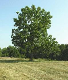 Rüyada Ceviz Ağacı Görme