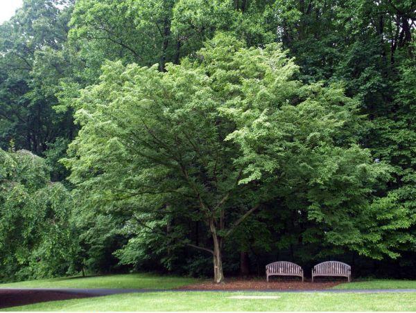 rüyada gürgen ağacı görmek